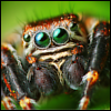 Pestis the Spider