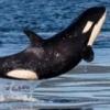 Arkangel_for_Orcas