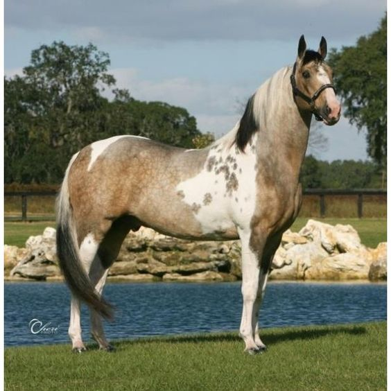 Buckskin Homozygous Tobiano now Standing in Tennessee! ❤ liked on Polyvore