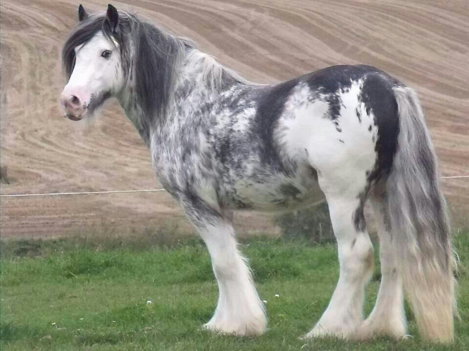 Pin on Gypsy Vanner Horses